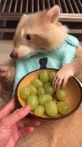 Gold Raccoon Munches on Grapes [Video]