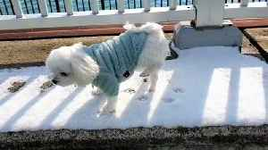 Maltese refuses to walk in the cold snow [Video]