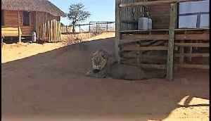 Tourists unexpectedly find massive lion in front of room [Video]