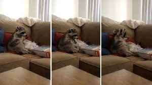 Hungry raccoon lives his best life by eating cereal out of box on sofa [Video]