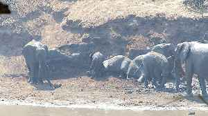 Entire herd of elephant youngsters take dirt bath together [Video]