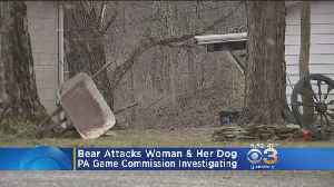 Pet Chihuahua Tries To Protect Owner In Pennsylvania Bear Attack [Video]