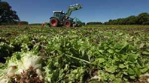 CDC Traces Romaine E. Coli Outbreak to California Farm [Video]
