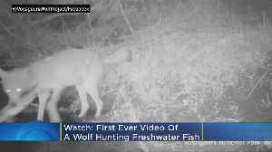 Minnesota Researchers Record 'First Ever' Video Footage Of Wolves Hunting Freshwater Fish [Video]