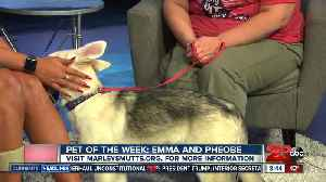 Pet of the week: Husky German Shepard mixed puppy Phoebe looking for home [Video]