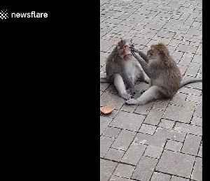 Monkey patiently cleans little brother's face in Bali, Indonesia [Video]