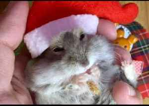 Hamster Ready to Deck the Halls for Christmas [Video]