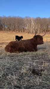 Dwarf Goat Uses Cow as Personal Playground [Video]