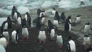 Scientists Say Antarctic Animals May Not Be Safe From Human Pathogens [Video]