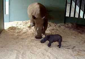 Baby Rhino Takes First Steps at Australia Zoo [Video]