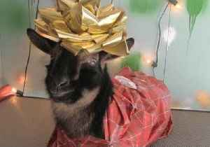 In Case You Were Wondering, Here's How to Wrap a Goat as a Christmas Present [Video]