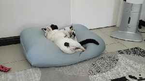 Dog & cat can't decide whether to wrestle or cuddle, do both [Video]