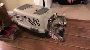 Big Raccoon Struggles to Come out of Small Pet Carrier [Video]