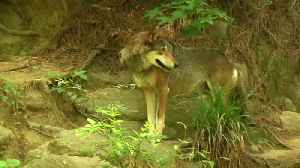 Red Wolves May Be Brought Back To A Reasonable Pop W/ Wild Dog DNA [Video]