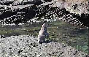 Adorable penguin unexpectedly found at equator in Galapagos [Video]