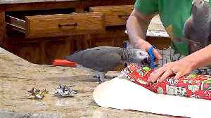 Helpful parrot lends a beak to wrap holiday gifts [Video]