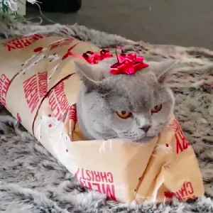 This cat loves to get wrapped for Christmas [Video]