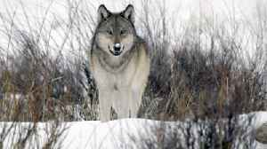 The return of wolves to Yellowstone Park [Video]