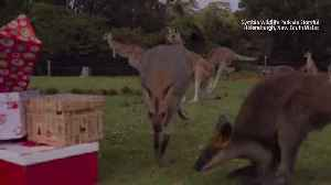 Christmas Comes Early for Some Animals Down Under [Video]