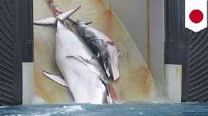 Japan announces plans to resume commercial whaling [Video]