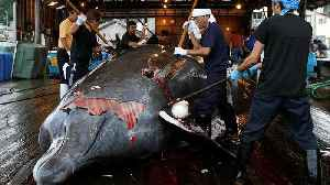 Japan to restart commercial whaling in 2019 [Video]