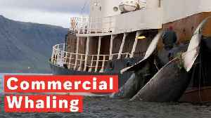 What Is Commercial Whaling? [Video]