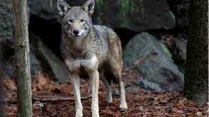 Mysterious Texas Canines Have 'Ghost' DNA Of Red Wolves [Video]