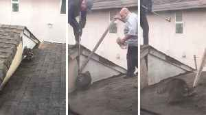 Man successfully saved raccoon with leg trapped in roof [Video]