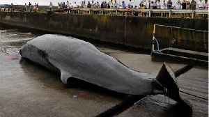 Japan To Start Whaling Again [Video]
