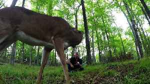 Wild deer share apple with man in the forest [Video]