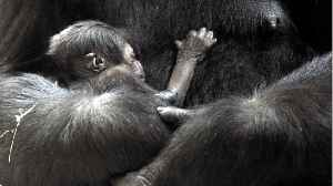 Eastern Lowland Gorillas Could Experience A 'Genetic Meltdown' [Video]