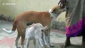 Too cute! Dog adopts orphaned baby goat in India [Video]