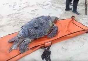 Volunteers Rescue Stranded Turtles and Return Them to Sea After Indonesia Tsunami [Video]