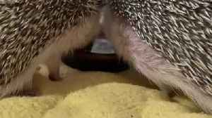 Lovely Hedgehog Reunion Mother and Son Drinking Water Together from Same Plate [Video]