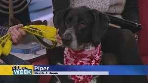 Meet Piper, Our Pet Guest Of The Week [Video]