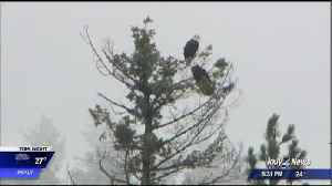 Raptor biologists say they have counted record number of bald eagles on Lake Coeur d'Alene [Video]