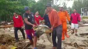 Turtles washed ashore by tsunami are released [Video]