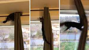 Cat tries to climb curtains and fails [Video]