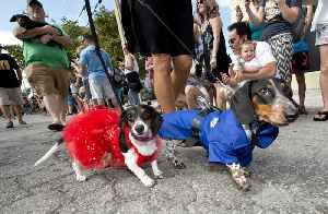 Annual Dachshund Walk Kicks Off Key West New Year's Eve Festivities [Video]