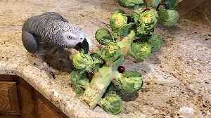 Parrot takes down Brussels sprout Christmas Tree [Video]