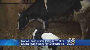 Cow On Loose Gives Birth In New Jersey [Video]