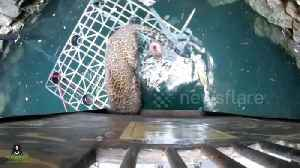 Wildlife SOS team rescue leopard trapped in 50-feet-deep well in India [Video]