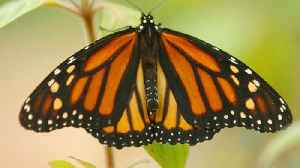 Monarch Butterfly Population In California Is 'Disturbingly Low' [Video]