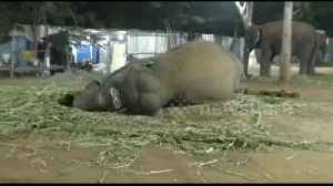Elephants tuck in for a (rather loud) good night's sleep at India rejuvenation camp [Video]