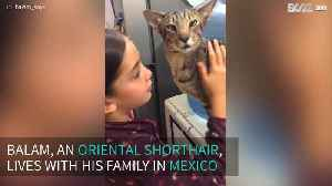 Little girl shares a special relationship with her oriental shorthair [Video]