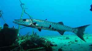 Giant barracuda startles scuba diver on sunken Russian warship [Video]
