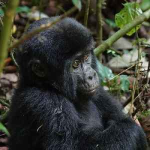 Great news! The endangered mountain gorilla population is on the rise. [Video]