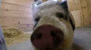 A pet pig available for adoption at the SPCA [Video]