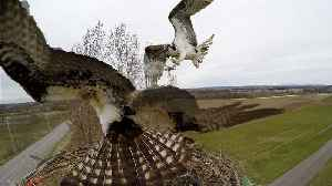 Osprey viciously attacks another osprey over nesting site [Video]