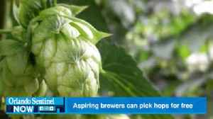 Aspiring brewers can pick their own hops for free Saturday in Zellwood [Video]